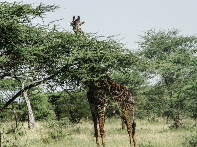S = Serengetti 2